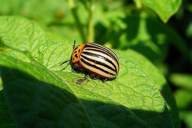 Колорадский жук: как бороться