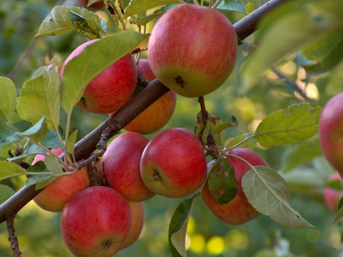 How to plant an Apple tree in spring