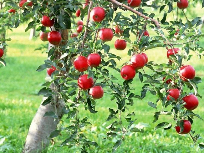 Как спасти яблоню