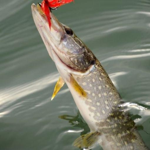 какая рыба клюет на норвегии