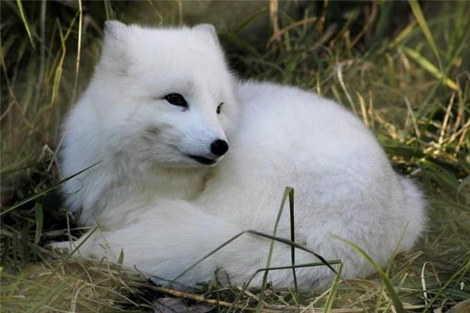 какие животные относятся к зоне тундр