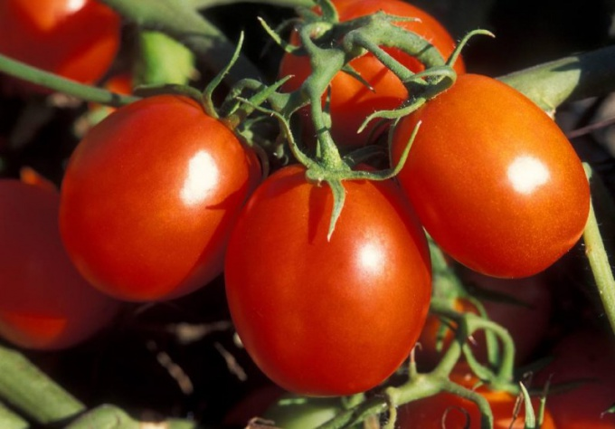 How to grow tomatoes outdoors
