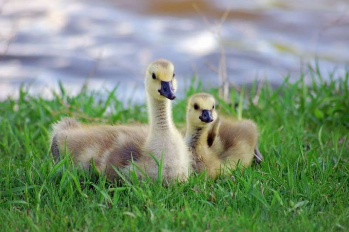 How to care for the goslings