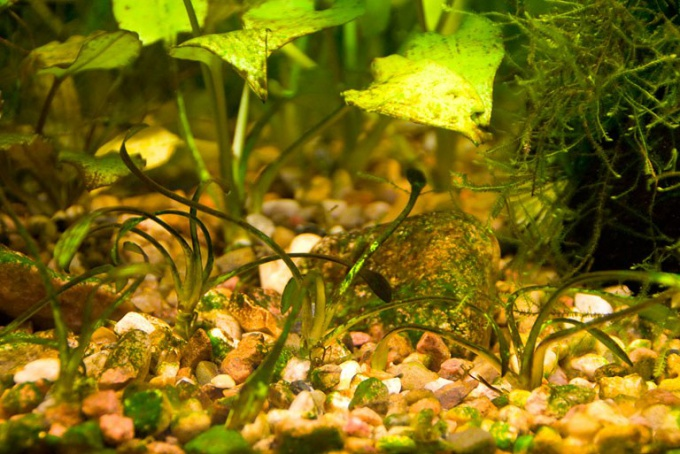 How to get rid of brown algae in the aquarium