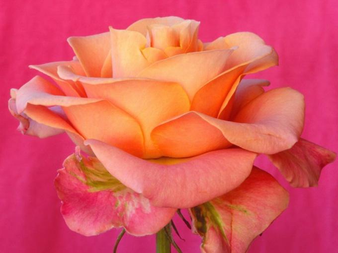 Как пересадить розы весной