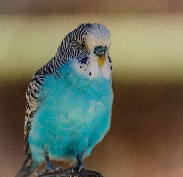 ухаживать за волнистым попугаем