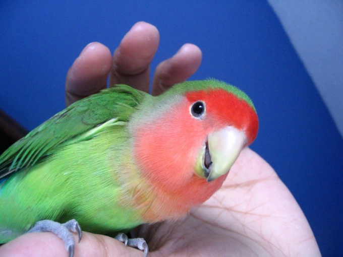 How to call parrot lovebird