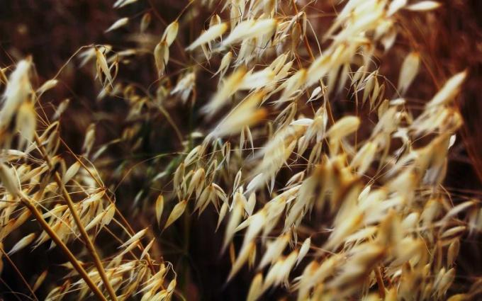 Лечебные свойства овса признаны официальной медициной