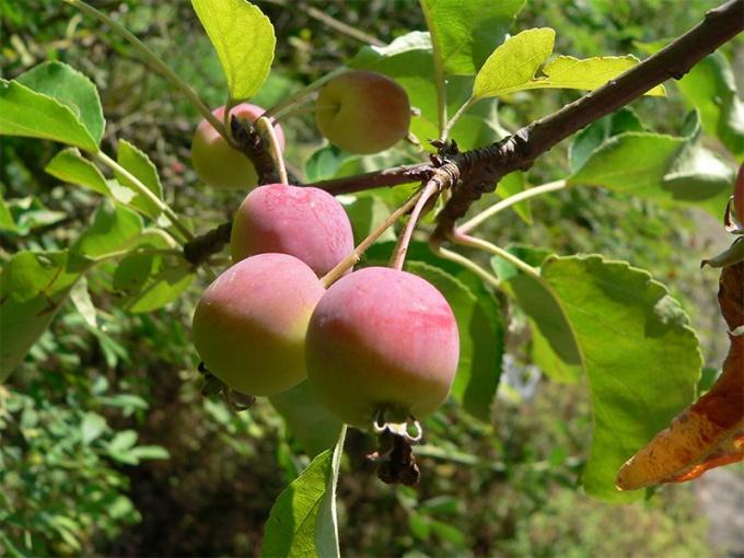 Как обрезать яблоню весной
