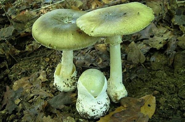 Бледная поганка - очень ядовитый гриб