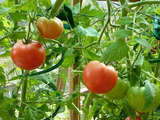 Как обрывать пасынки у помидор