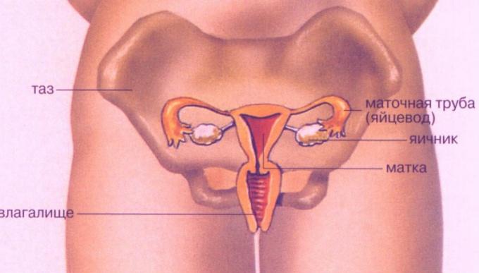 Чтобы попасть в матку, яйцеклетка проделывает долгий путь по органам малого таза женщины