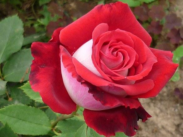 Как сберечь саженцы роз