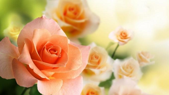 Плетистые розы - изысканность вашего сада