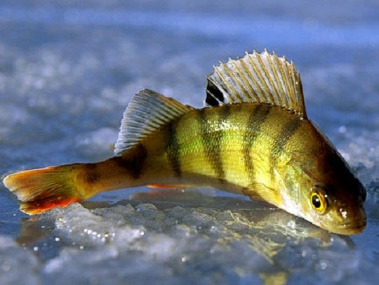 Какая рыба клюет зимой