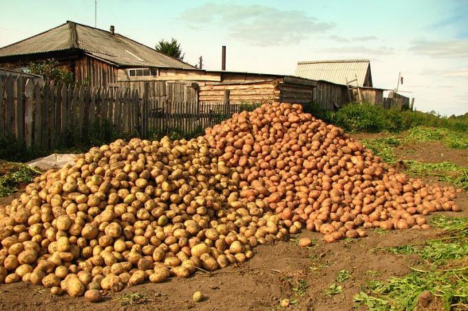 Куда продать картофель