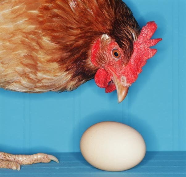 Отчего куры клюют яйца