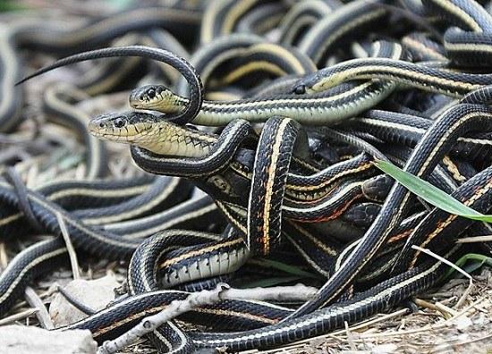 Как спариваются змеи