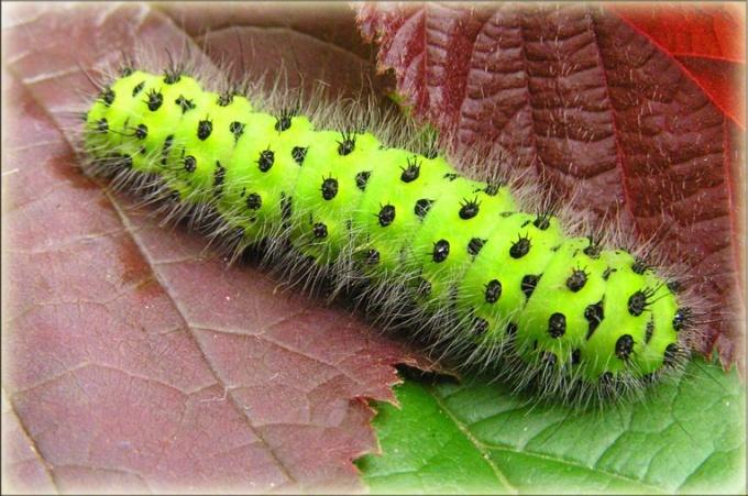 Личинка бабочки - гусеница