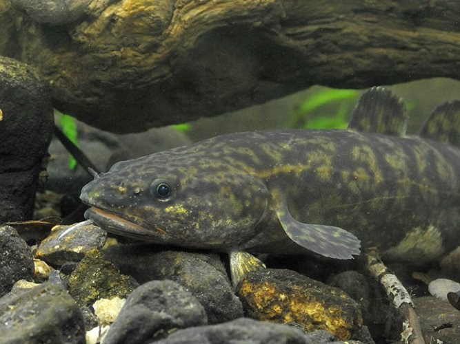 Какая рыба зимой мечет икру