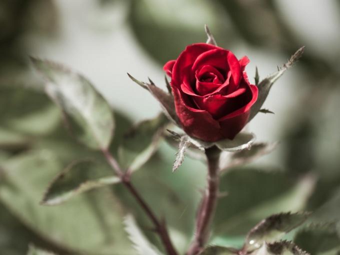 Почему розы колючие
