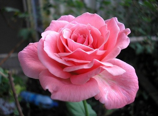 Как распускаются розы
