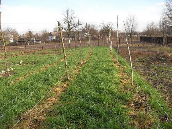 Таким уходит огород под зиму: сидерат рожь  и мульча из соломы
