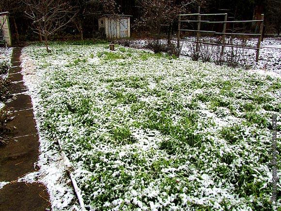 Огород уходит в зиму под сидератами