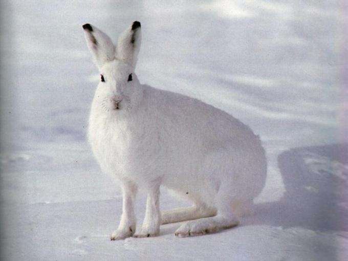 животные похожие на зайца