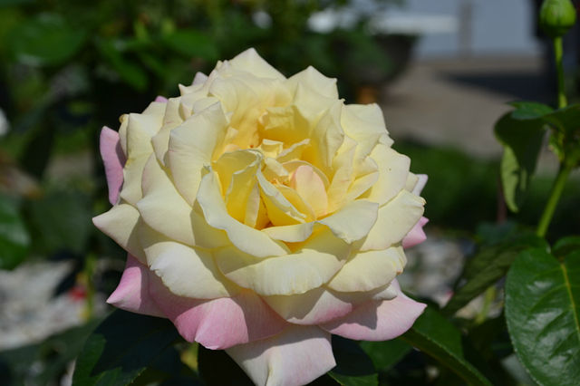 Глория Деи в моем саду