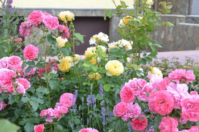 """Розы в моем розарии. Сорта """"Розариум Ютерзен"""" и """"Грэхем Томас"""""""