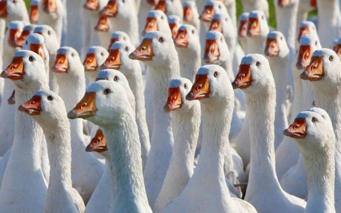 Как просто решить задачу про гусей