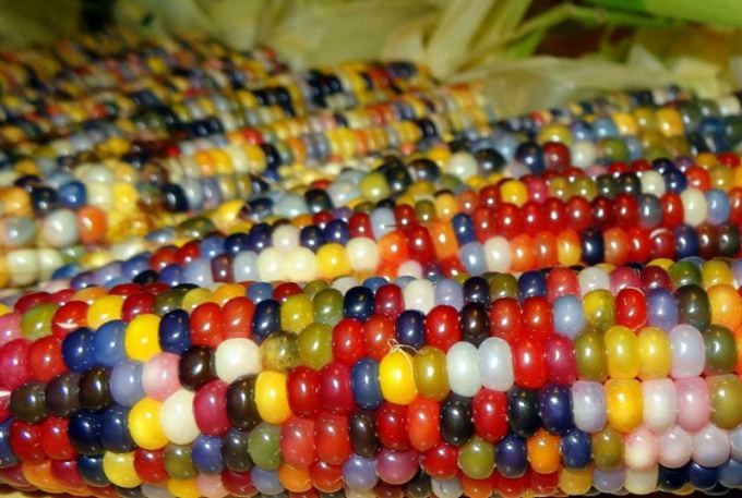 Цветная кукуруза - чудо селекции