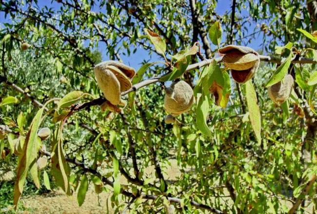 Часть плодов миндаля раскрывается при созревании прямо на ветвях