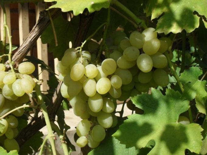 Как сушить виноград самому, дабы получился изюм?
