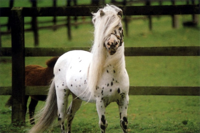 низкорослая лошадь как называется порода