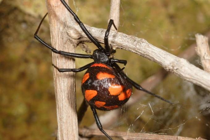 ядовитые пауки в россии