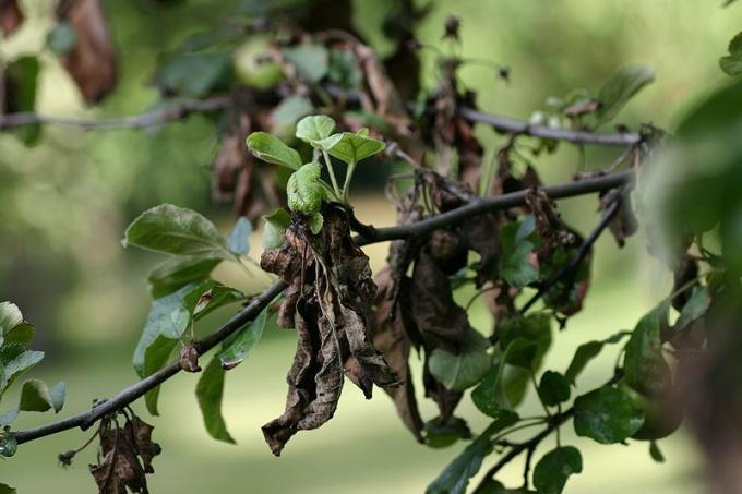 Как лечить болезнь яблонь и груш
