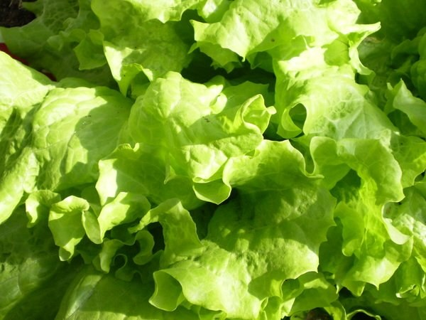 How to plant lettuce?