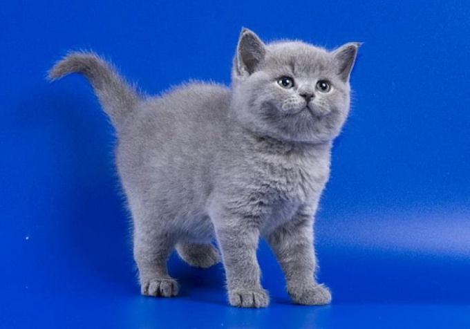 Сколько стоит котенок