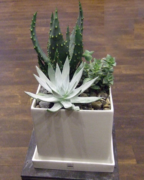Как сделать подарочную композицию из кактусов