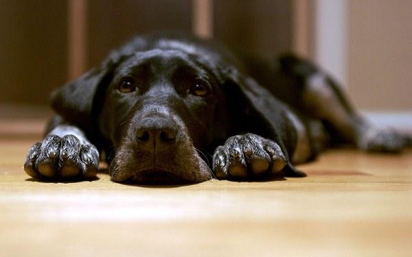 признаки чумы у собак