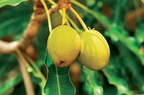 Почему дерево ши называют африканским чудом