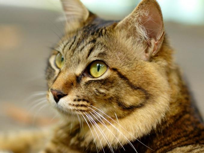 Чем грозит мочекаменная болезнь у кошек: как её избежать или лечить