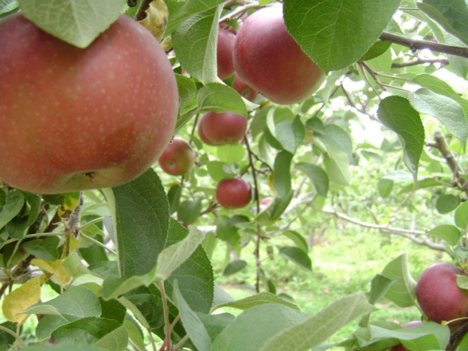 What fruit trees to plant at the cottage?