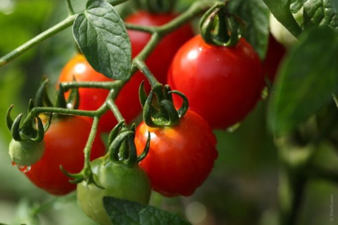 Сочные томаты - результат правильной посадки и ухода