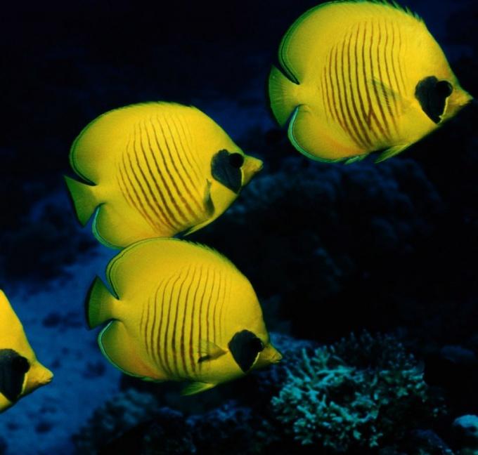 Как узнать пол аквариумных рыбок