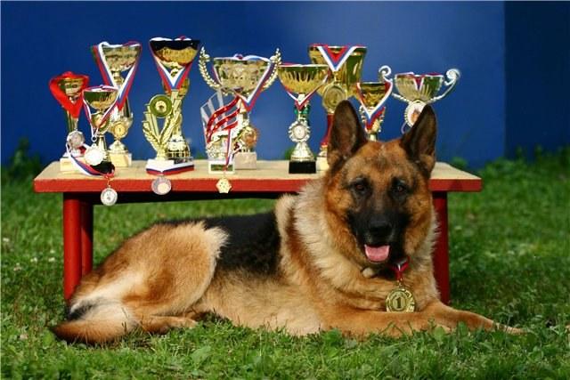 Выставочные собаки - растим ради победы!