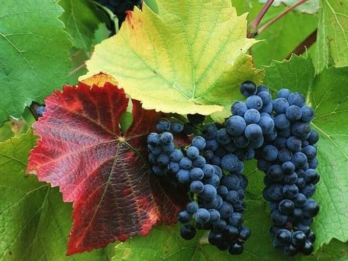 Как ухаживать за виноградом