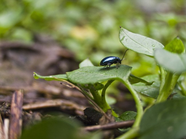 How to get rid of cruciferous flea beetles